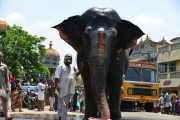 elephant srirangam with Sridher